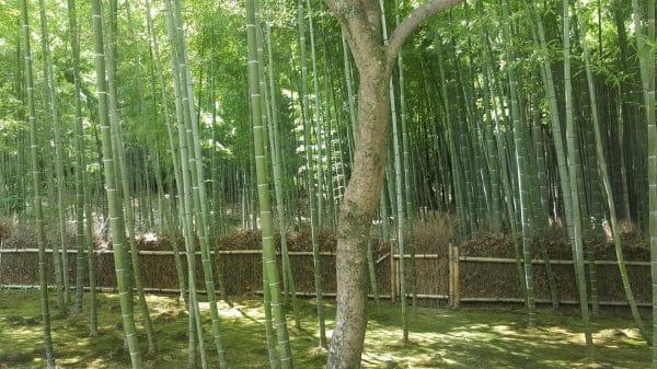 Foresta di Bamboo