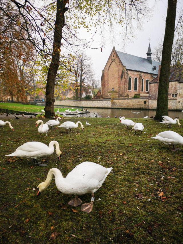 Cigni Bruges